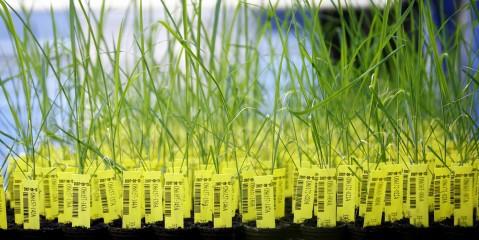 gentechnisch veränderte Pflanzen